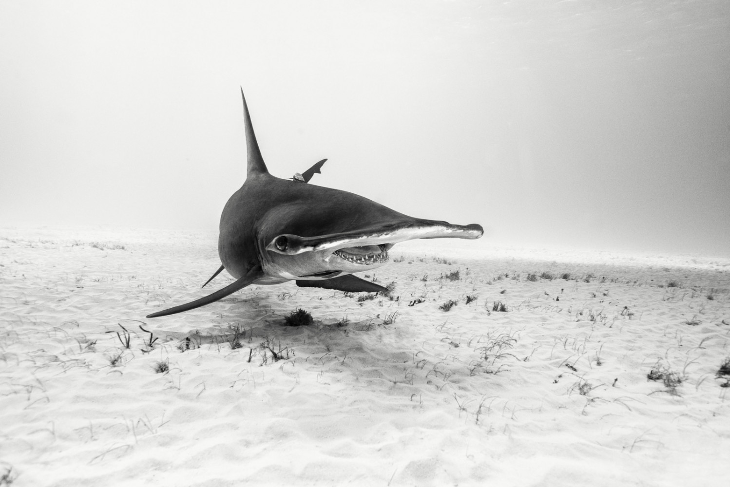 A 12 foot shark turns off 2 feet from Michael Muller's lens